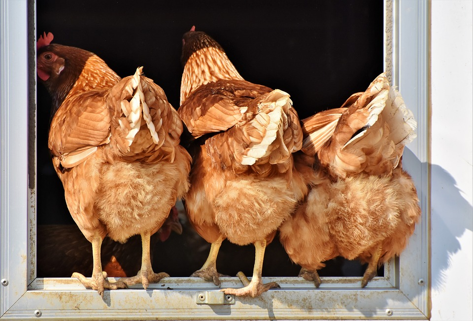 Aliment poule Pujols