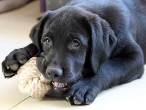 Labrador balle corde